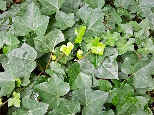 efeu schnellwachsend winterhart efeublätter kletterpflanze kaufen