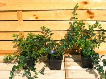 kleinbl ttriges immergr n preiswerte gartenpflanzen mit versand On gartenpflanzen versand