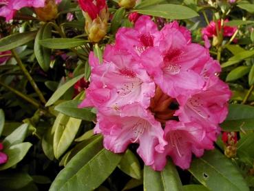 rhododendron sneezy g nstig in unserem online shop kaufen. Black Bedroom Furniture Sets. Home Design Ideas