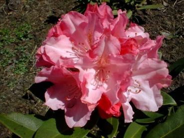 rhododendron tina heinje bestellen sie g nstig beim. Black Bedroom Furniture Sets. Home Design Ideas