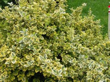 Gelbbunte kriechspindel preiswerte gartenpflanzen mit for Gartenpflanzen versand