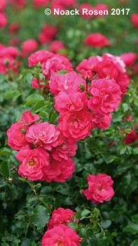 Bodendeckende Rose Heidetraum In Unserem Online Shop Gunstig