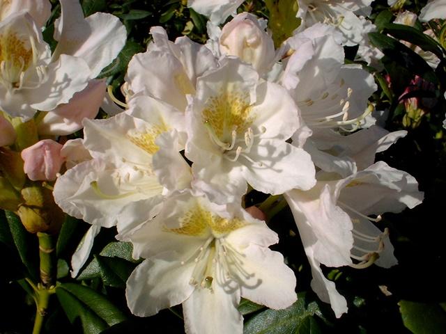 rhododendron cunningham s white g nstig bei unserem. Black Bedroom Furniture Sets. Home Design Ideas