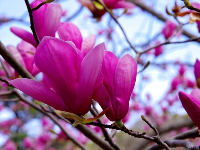 magnolie susan bei hecken. Black Bedroom Furniture Sets. Home Design Ideas