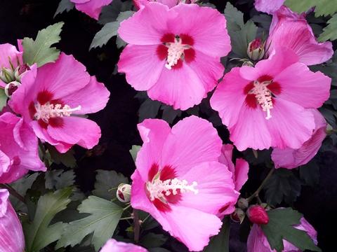 Rosen eibisch woodbridge preiswerte gartenpflanzen mit for Gartenpflanzen versand