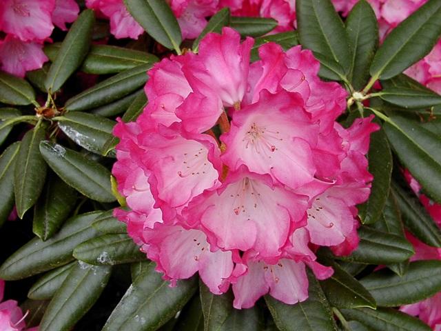 rhododendron fantastica g nstig in unserem online shop. Black Bedroom Furniture Sets. Home Design Ideas