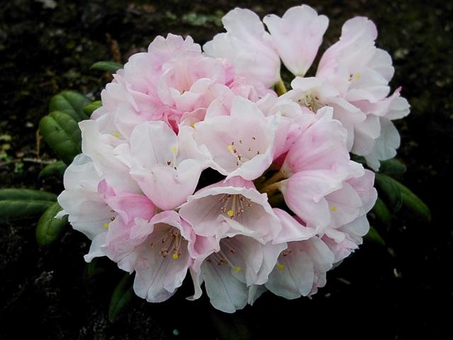 rhododendron koichiro wada bestellen sie g nstig ab. Black Bedroom Furniture Sets. Home Design Ideas