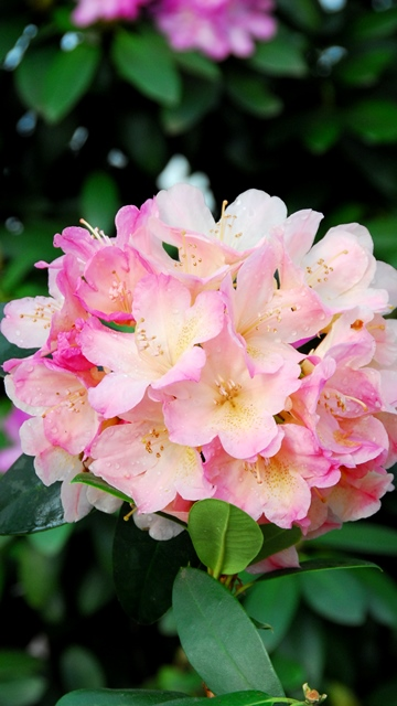 rhododendron yakushimanum percy wiseman rhododendron. Black Bedroom Furniture Sets. Home Design Ideas