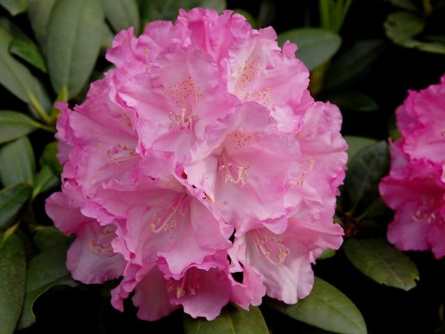 rhododendron yakushimanum polaris rhododendron polaris. Black Bedroom Furniture Sets. Home Design Ideas
