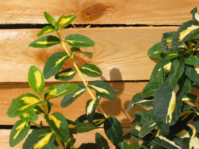 Goldbunte kriechspindel preiswerte gartenpflanzen mit for Gartenpflanzen versand