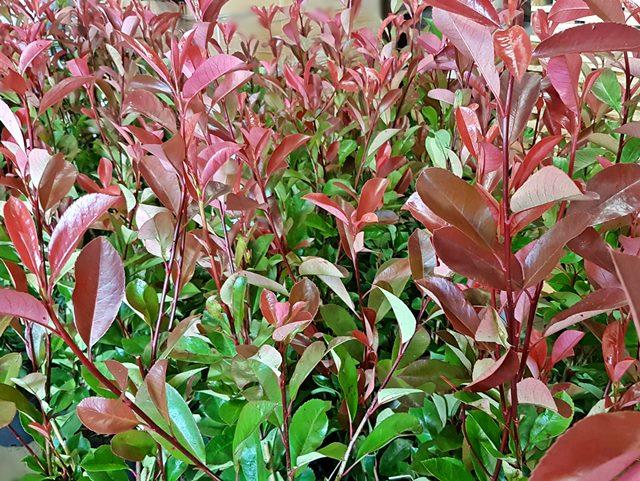 Glanzmispel Red Robin 60-80cm Photinia fraseri