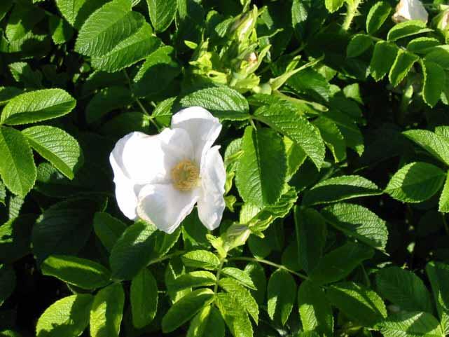 Wei e apfelrose preiswerte gartenpflanzen mit versand for Gartenpflanzen versand