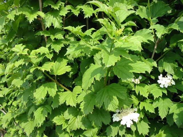Schneeball preiswerte gartenpflanzen mit versand for Gartenpflanzen versand