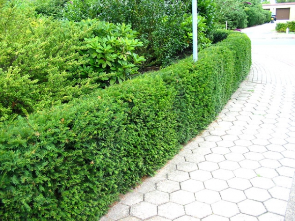 1000 images about taxus baccata venijnboom yew eibe if on pinterest taxus baccata hedges. Black Bedroom Furniture Sets. Home Design Ideas