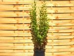 goldliguster g nstige gartenpflanzen bei hecken. Black Bedroom Furniture Sets. Home Design Ideas