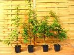 heckenpflanzen liguster hecke hainbuchenhecke und rotbuche. Black Bedroom Furniture Sets. Home Design Ideas