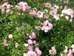 "Rosa ""The Fairy"" - (Bodendeckerrose The Fairy),               Topf 1,5 Liter                 3 Triebe"