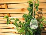 fargesia murielae superjumbo bambus g nstige heckenpflanzen im shop von hecken kaufen. Black Bedroom Furniture Sets. Home Design Ideas
