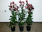 "Photinia fraseri ""Red Robin"" - (Rote Glanzmispel),"