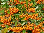 "Pyracantha ""Orange Chamer"" - (Feuerdorn Orange Charmer),"