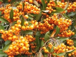 "Pyracantha ""Orange Glow"" - (Feuerdorn Orange Glow),"