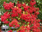 "Pyracantha ""Red Column"" - (Feuerdorn Red Column),"