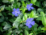 Vinca minor - Kleinbl�ttriges Immergr�n